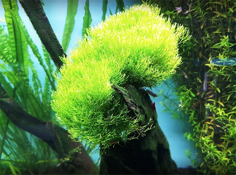 Aqualoto, todo para el acuario, algas