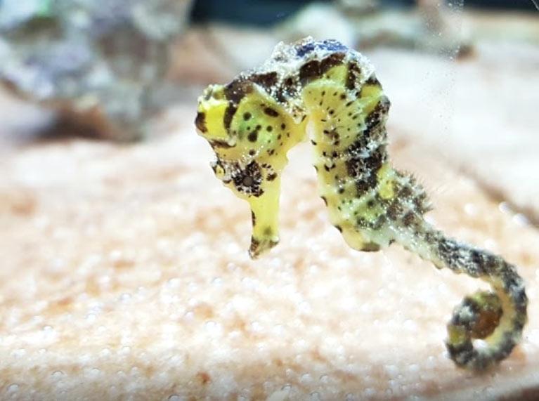 Aqualoto, todo para el acuario, caballito de mar