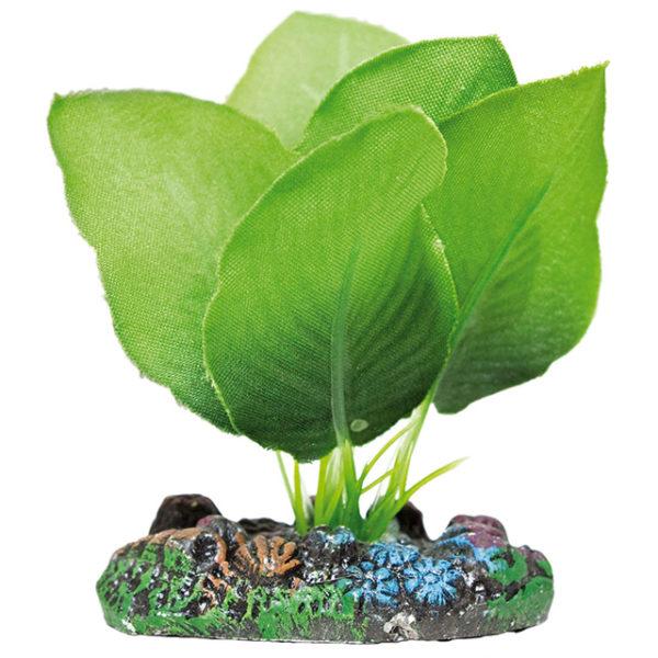 Anubia verde