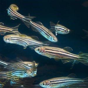 peces-cebritas