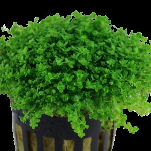 planta tapizante de acuario cuba