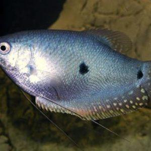gouramis azules