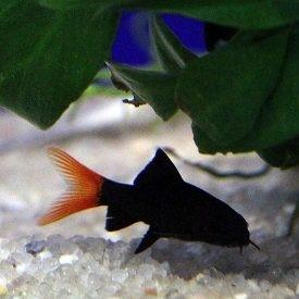 Labeo bicolor