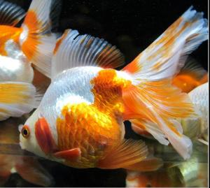 peces de agua fria