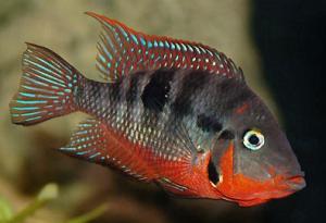 peces boca de fuego