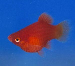 Platy rojo coral