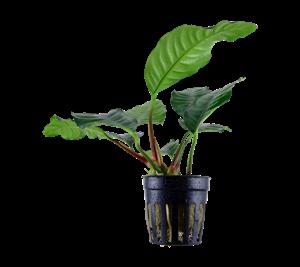 Anubia coffeefolia